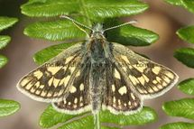 Chequered Skipper (3)
