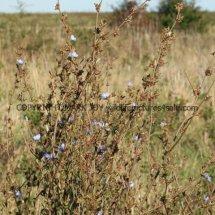 Chicory (Cichorium intybus) (1)
