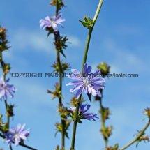 Chicory (Cichorium intybus) (2)