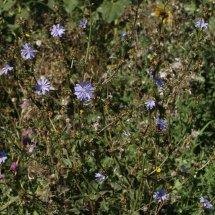 Chicory (Cichorium intybus) (3)