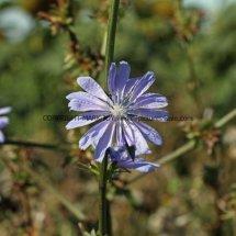 Chicory (Cichorium intybus) (4)