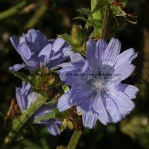 Chicory (Cichorium intybus) (5)