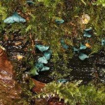 Chlorociboria aeruginascens Green Elf Cup or Green Stain (1)