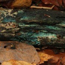 Chlorociboria aeruginascens Green Elf Cup or Green Stain (3)