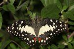 Citrus Swallowtail (2)