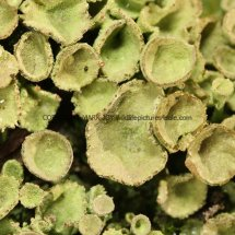 Cladonia pyxidata Pixie-cup lichen (1)