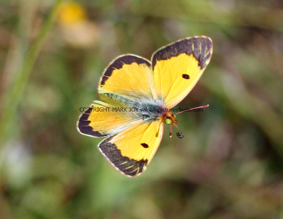 Clouded Yellow (6)