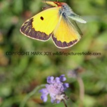 Clouded Yellow (9)