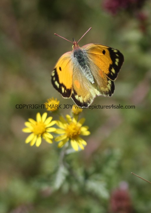 Clouded Yellow (Female) (1)