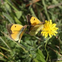Clouded Yellow (male) (1)