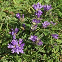 Clustered Bellflower (2)