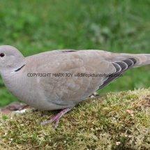 Collared Dove 1 (9)