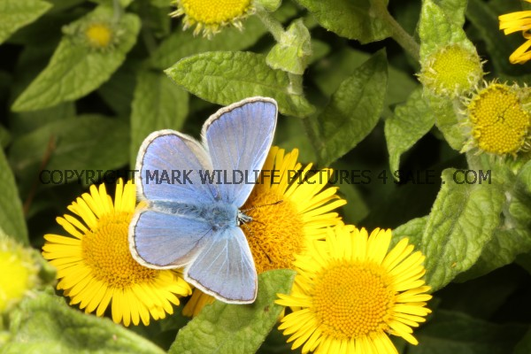 Common Blue (10)