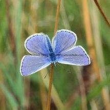 Common Blue (1)