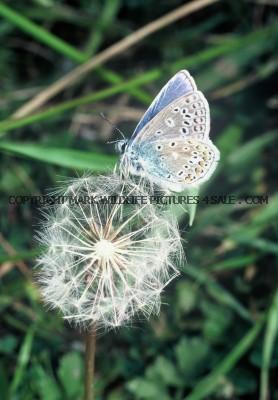 Common Blue 75 (8)