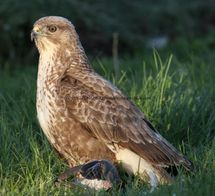 Common Buzzard (9)