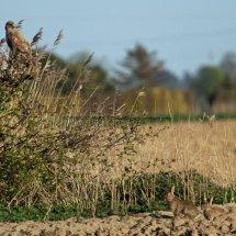 Common Buzzard (11)
