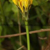Common Cats' Ear (Hypochaeris radicata) (1)