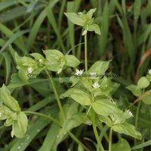 Common Chickweed (Stellaria  Media) (1)