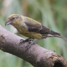 Common Crossbill Lynford Arboretum 7.4.2017 (10)