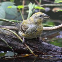 Common Crossbill Lynford Arboretum 7.4.2017 (3)