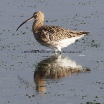 Common Curlew (1)