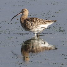 Common Curlew (2)