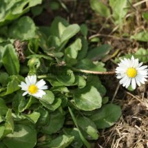 Common Daisy (Bellis perennis)