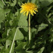 Common Dandelion (Taraxacum officinale) (1)