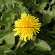 Common Dandelion (Taraxacum officinale) (2)