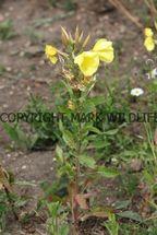 Common Evening-Primrose (2)