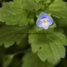 Common Field Speedwell (Veronica persica) (1)
