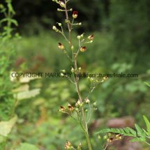 Common Figwort (1)