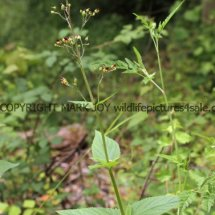 Common Figwort (2)