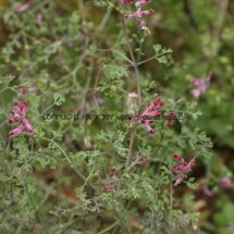 Common Fumitory (Fumaria officinalis) (1)