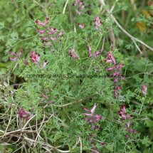 Common Fumitory (Fumaria officinalis) (4)