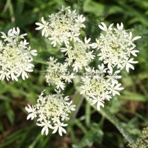 Common Hogweed (Heracleum sphondylium) (2)