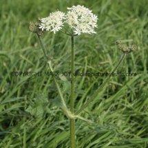 Common Hogweed (Heracleum sphondylium) (3)