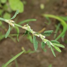 Common Knotgrass (Polygonum aviculare) (2)