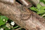 Common Lizard (13)