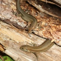Common Lizard (1)