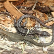 Common Lizard (2)