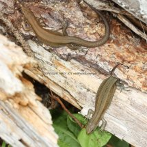 Common Lizard (3)