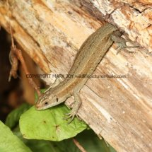 Common Lizard (4)