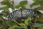 Common Mime (Chilasa clytia clytia)