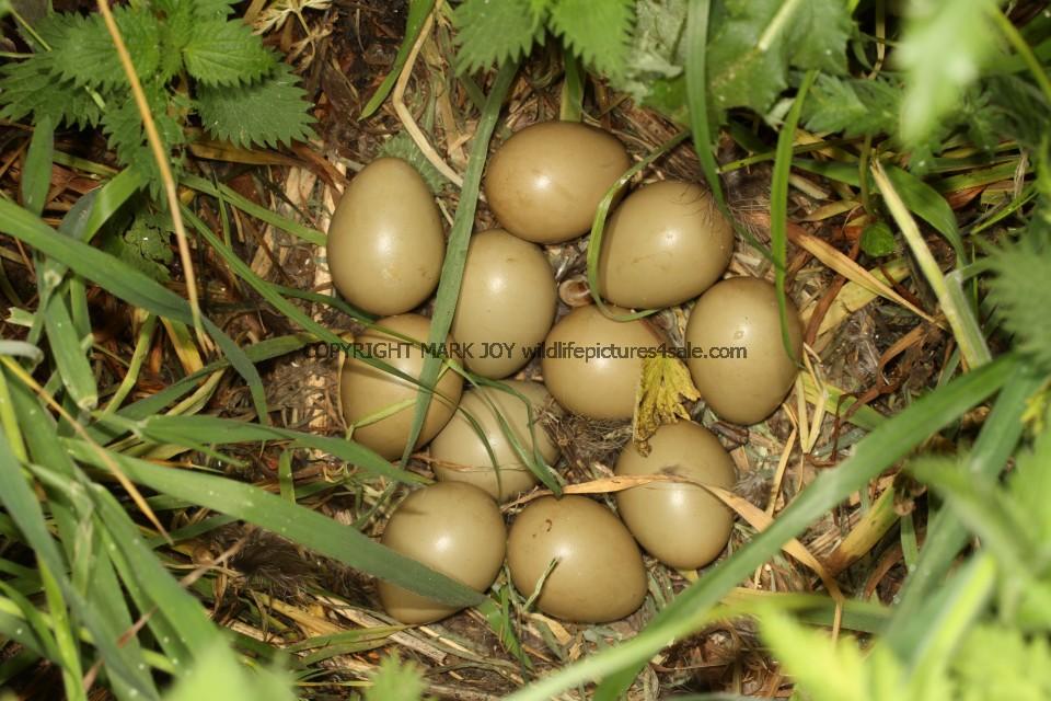 Common Pheasant Nest