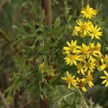 Common Ragwort (Senecio jacobaea) (2)