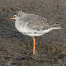 Common Redshank (13)