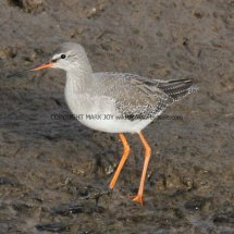 Common Redshank (14)