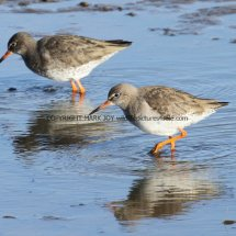 Common Redshank (2)